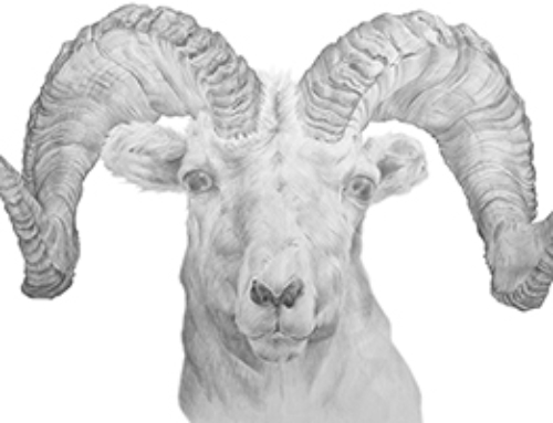 Dall Sheep Illustration – Pencil