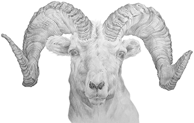 Dall Sheep Illustration - Hand Drawn in Pencil